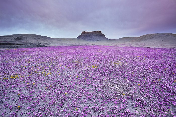 Colourful Flowers in Utah Deserts Captured by Guy Tal 2