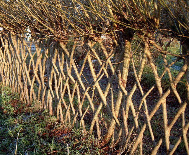 20 Beautiful Examples Of Living Willow Fences 4