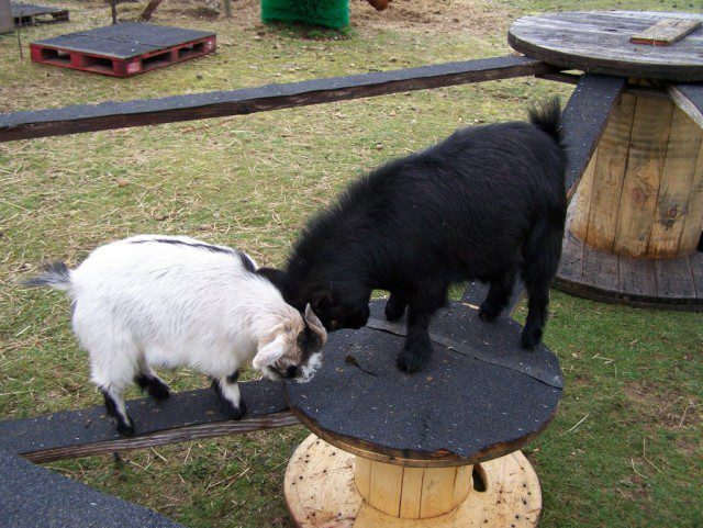 DIY Toys For Goats To Keep Them Busy 3