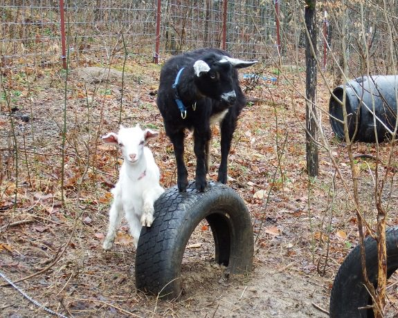 DIY Toys For Goats To Keep Them Busy 4