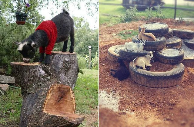 DIY Toys For Goats To Keep Them Busy 6