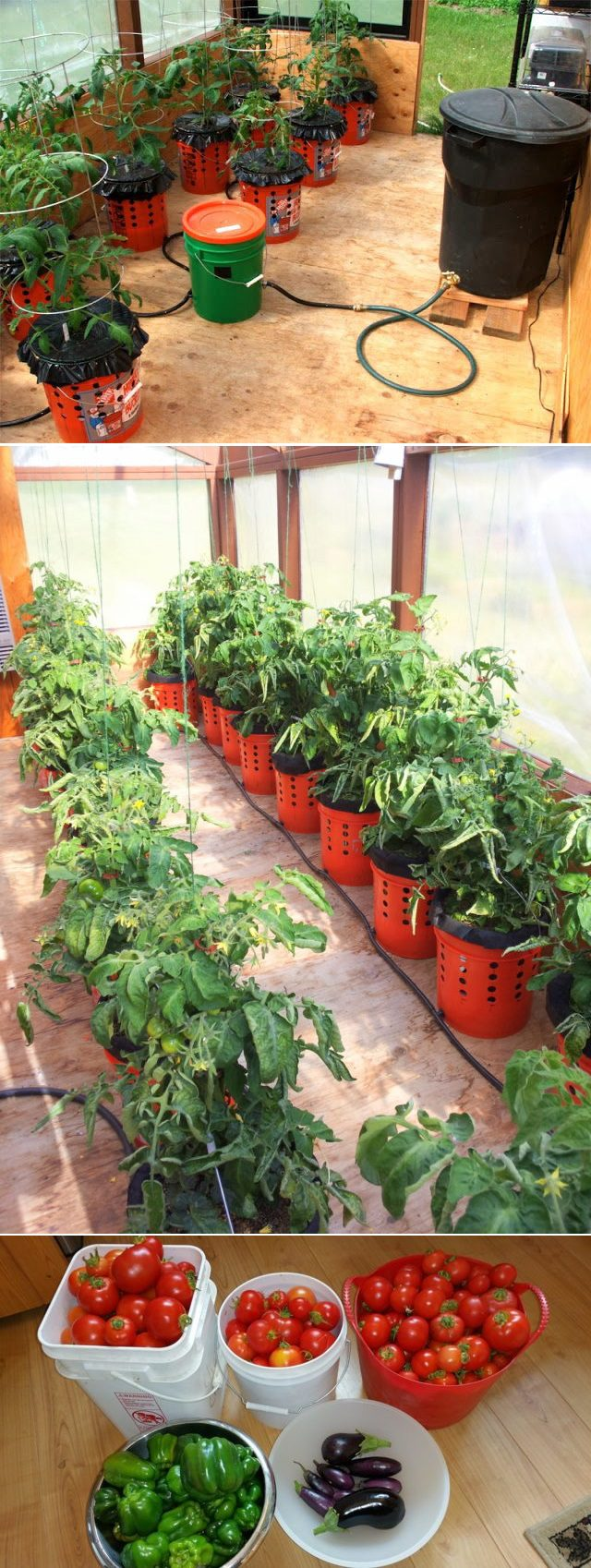 How to grow tomato plants in buckets icreatived - Gallon bucket garden container ...
