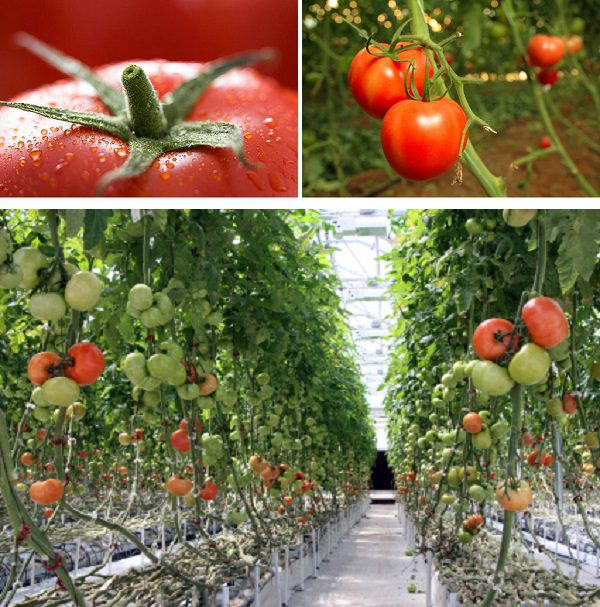 The values of tomatoes and a greenhouse effect can be a great treasure for you sweet fruit, whole year.
