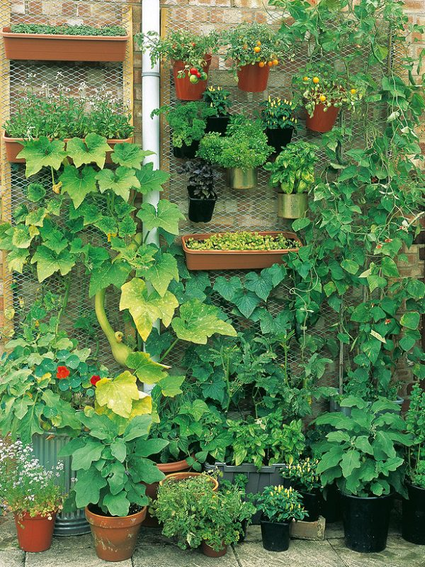 The vertical vegetable garden is a great potential and a small garden, this is the place to grow for a number of cultures.