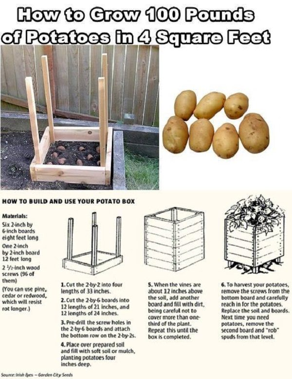 How to grow 100 pounds of potatoes and 4 SqFt
